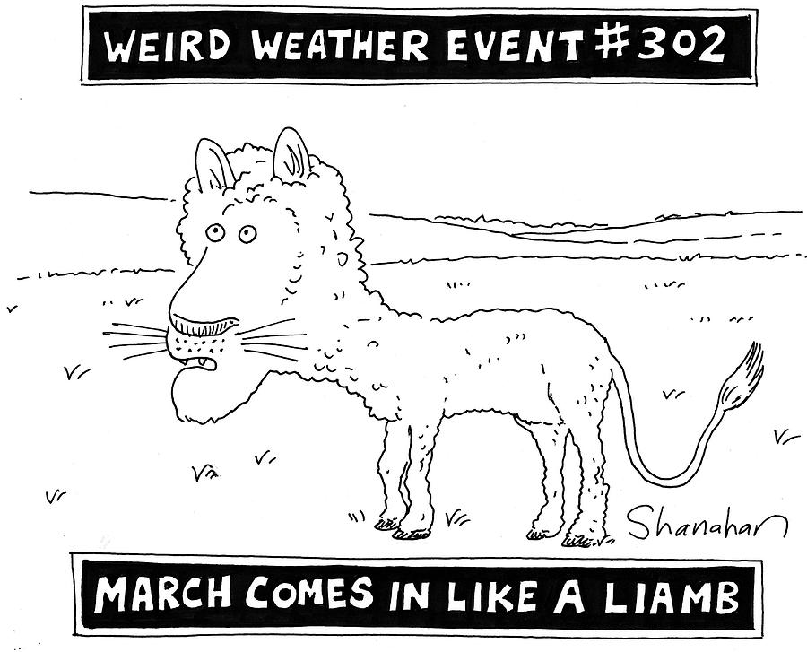 Cartoon Drawing - March Comes In Like A Liamb by Danny Shanahan
