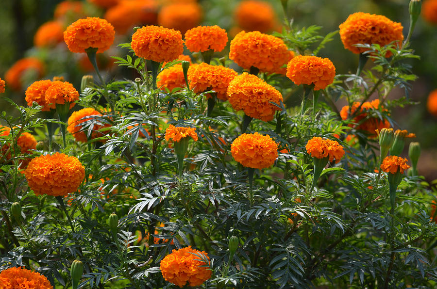 Flowers Photograph  Photograph - Marigold Flowers  by Johnson Moya