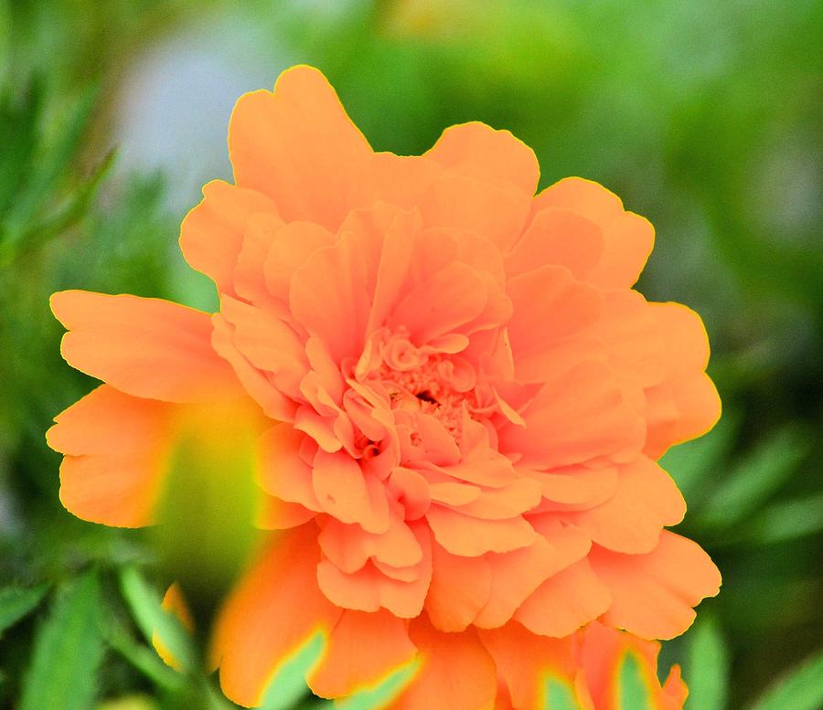 Marigold Photograph - Marigold by Maria Urso