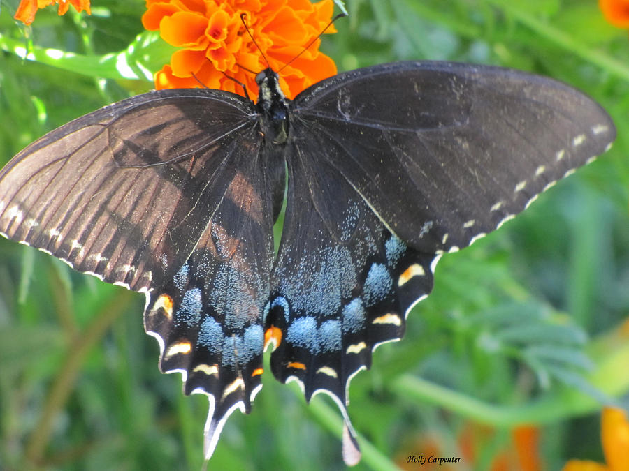 Butterfly Photograph - Marigold Swallowtail by Holly Carpenter