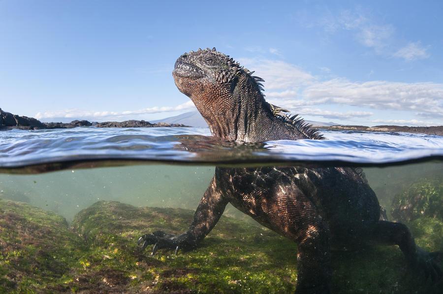 Marine Iguana In Water Punta Espinosa Photograph by Tui De Roy