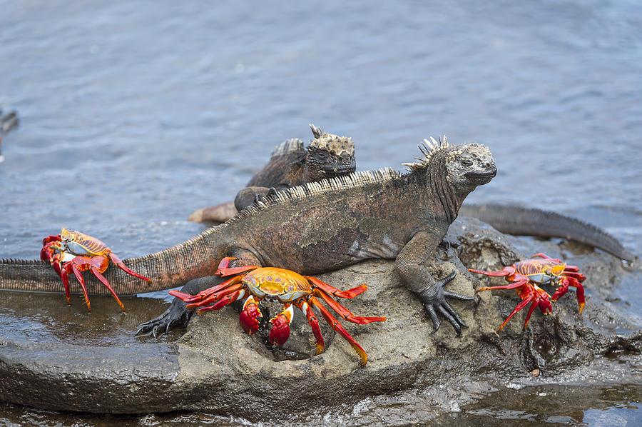 Marine Iguana Pair And Sally Lightfoot Photograph by Tui De Roy