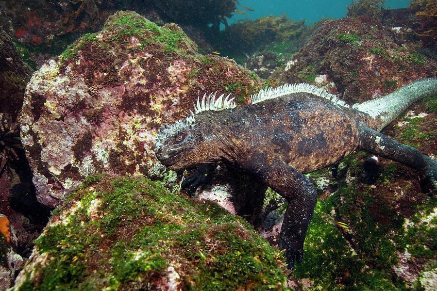 Amblyrhynchus Cristatus Photograph - Marine Iguana by Peter Scoones/science Photo Library