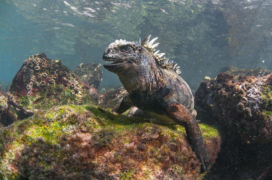 Marine Iguana Rabida Island Galapagos Photograph by Tui De Roy