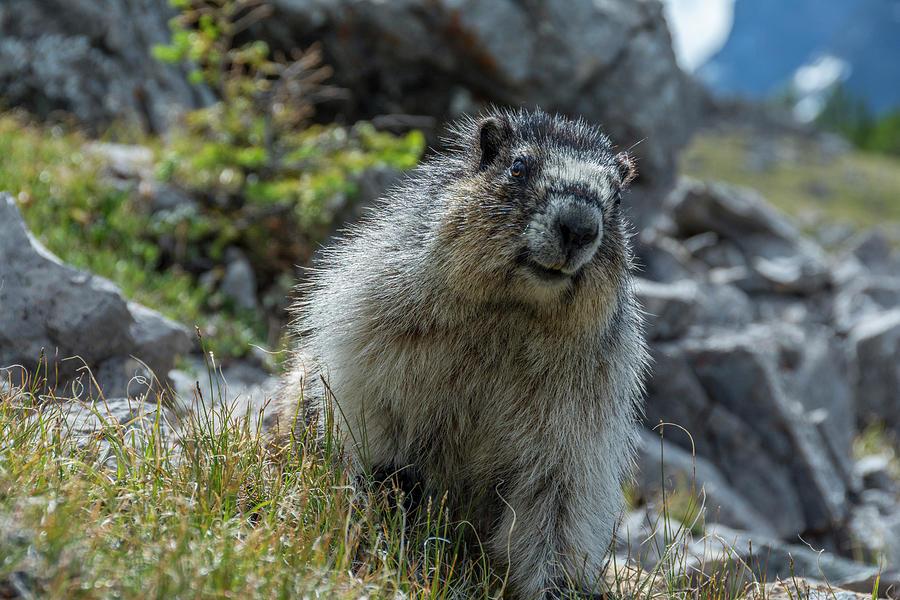 Alberta Photograph - Marmot In Assiniboine Park, Canada by Howie Garber