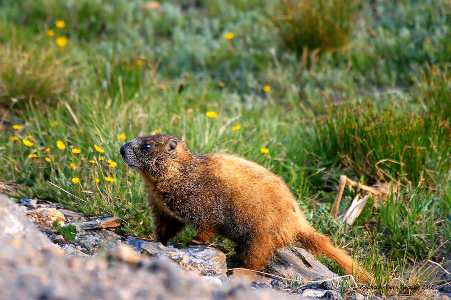 Marmot Photograph - Marmot In Spring by Rebecca Adams