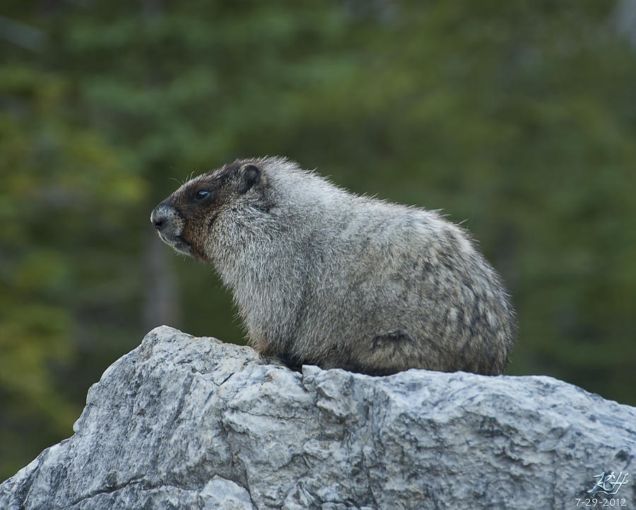 Nature Photograph - Marmot by Kenneth Hadlock