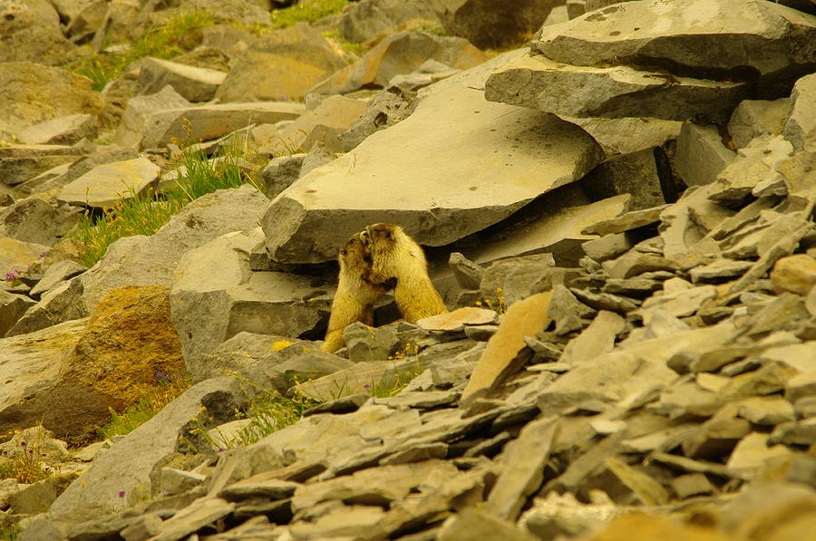 Marmots Photograph - Marmots Playing by Jeff Swan