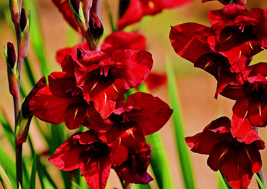maroon color gladiolus flower photograph by johnson moya