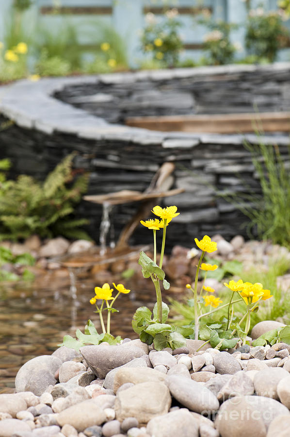 April Photograph - Marsh Marigolds by Anne Gilbert