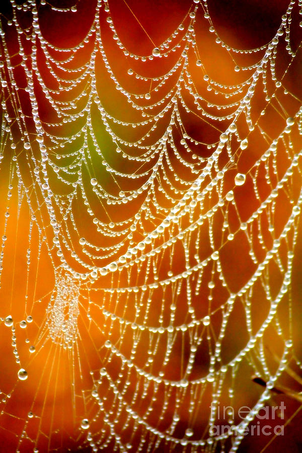 Dewdrops On Spider Web Photograph - Marsh Pearls by Carol Groenen