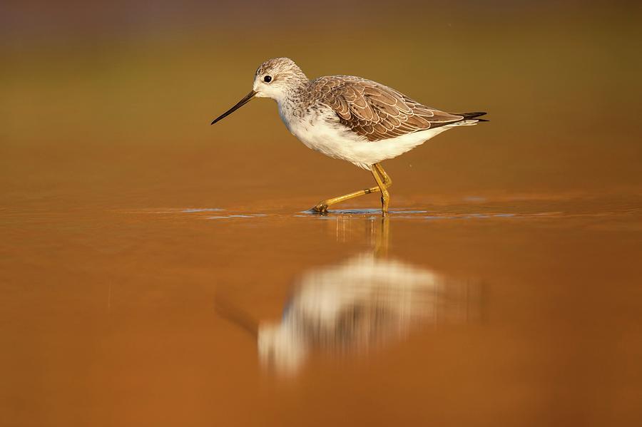 Tringa Stagnatilis Photograph - Marsh Sandpiper (tringa Stagnatilis) by Photostock-israel