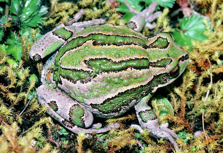 Amphibian Photograph - Marsupial Frog by Dr Morley Read/science Photo Library