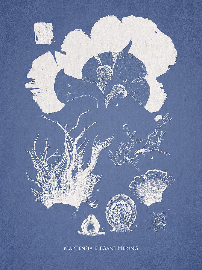 Algae Drawing - Martensia Elegans Hering by Aged Pixel