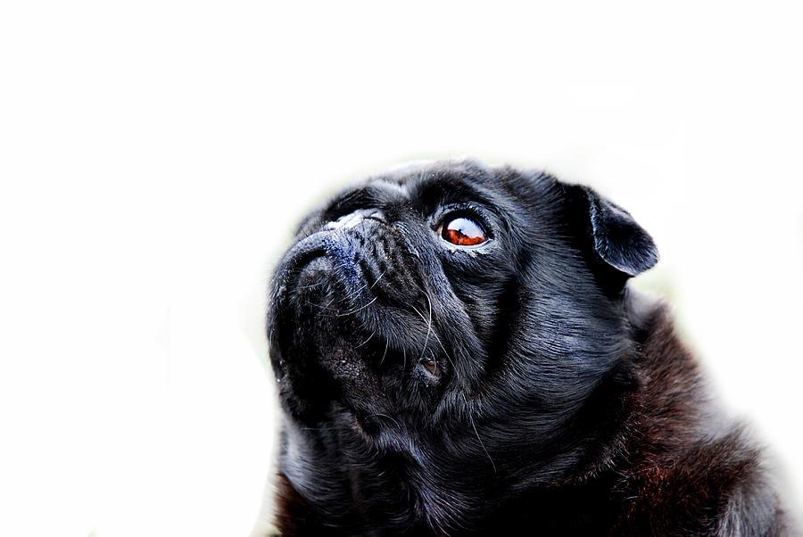 Pug Photograph - Martha by Mark Rogan