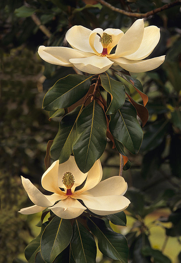 Flowers Photograph - Marvelous Magnolia  by Bijan Pirnia