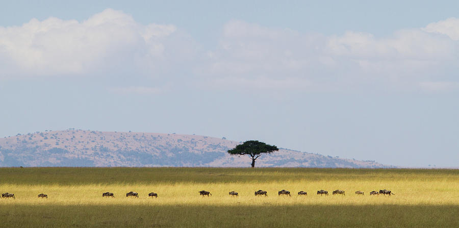 Masai Mara Wildebeest Migration Photograph by Universal Stopping Point Photography