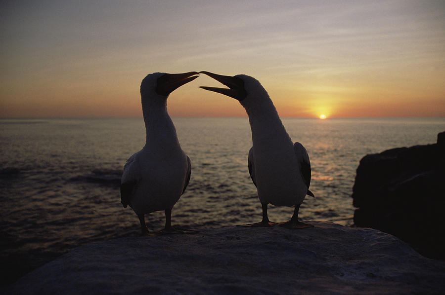 Masked Booby Couple Courting Galapagos Photograph by Konrad Wothe