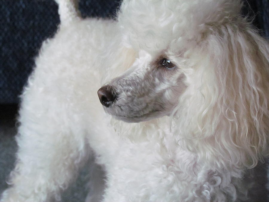 Toy Poodle Photograph - Maski Small White Poodle  by Joyce Woodhouse