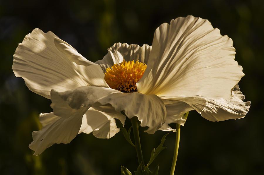 Lee Photograph - Matilija Poppy by Lee Kirchhevel
