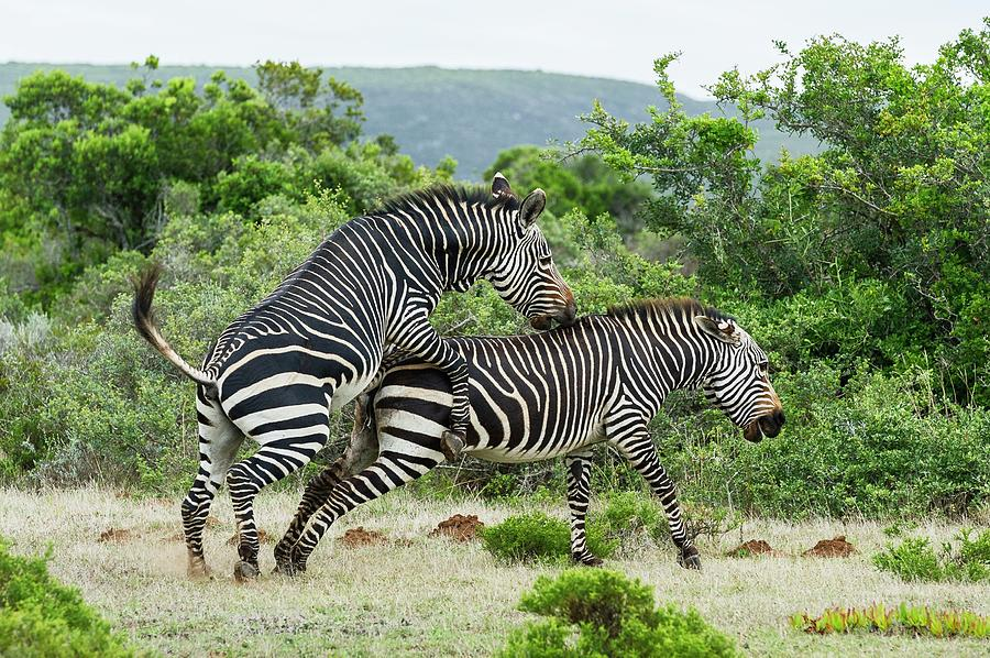 Mating Cape Mountain Zebras Photograph By Peter Chadwick