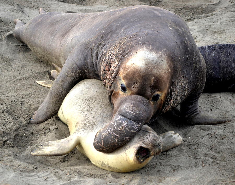 Mating Elephant Seals Cambria Photograph By Christine Owens