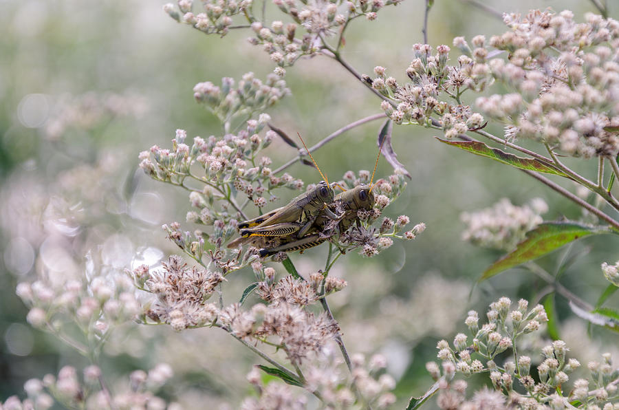 Bug Photograph - Mating Grasshoppers by Diana Boyd