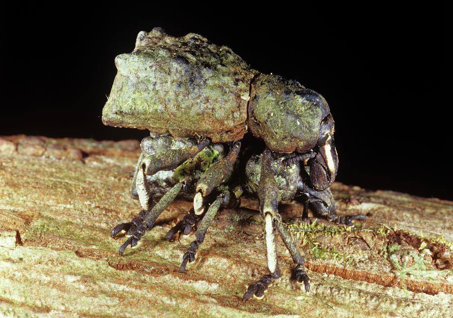 Weevil Photograph - Mating Weevils by Sinclair Stammers/science Photo Library