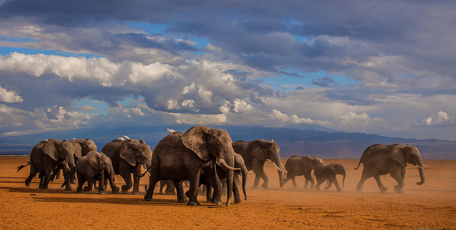 Nature Photograph - Matriarch On Amboseli by Pieter Ras