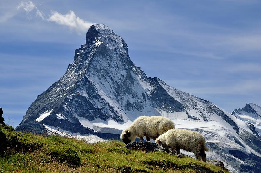 Matterhorn With Sheep From Hohbalmen Photograph by Pierre Hanquin Photographie
