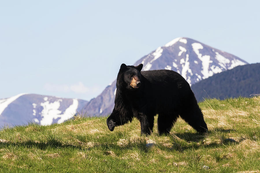 Mature Black Bear  Ursus Americanus by Doug Lindstrand