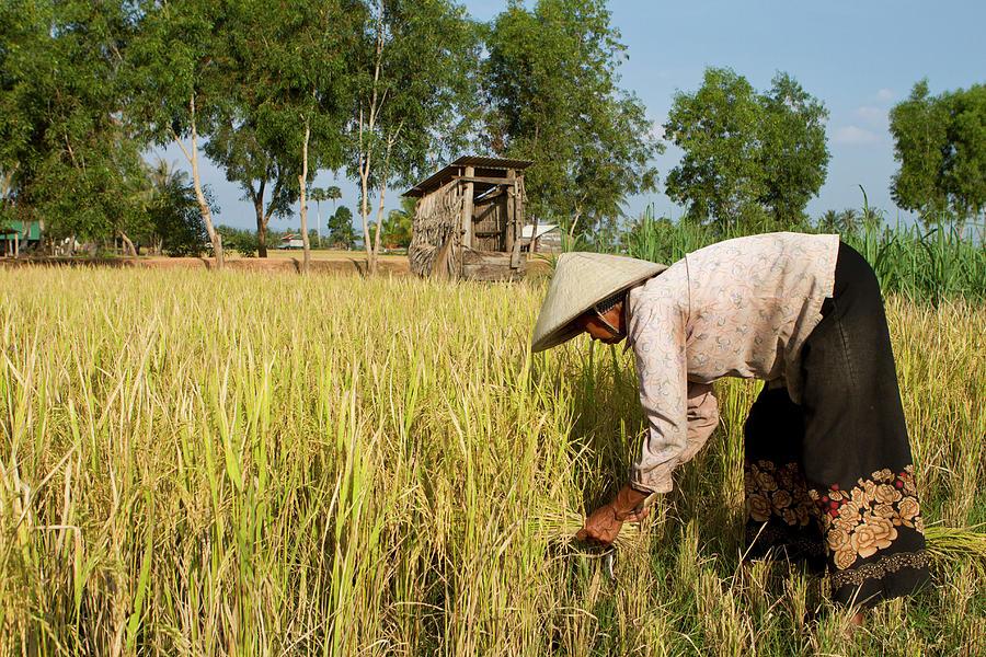 Matured Woman With Straw Hat Harvesting Photograph by Joakimbkk