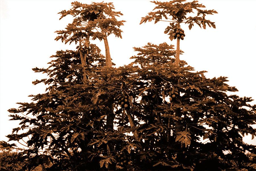 Dusk Photograph - Maui Coconut Palms by J D Owen