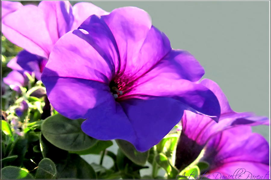 Designs Photograph - Mauve Petunia Trio by Danielle  Parent