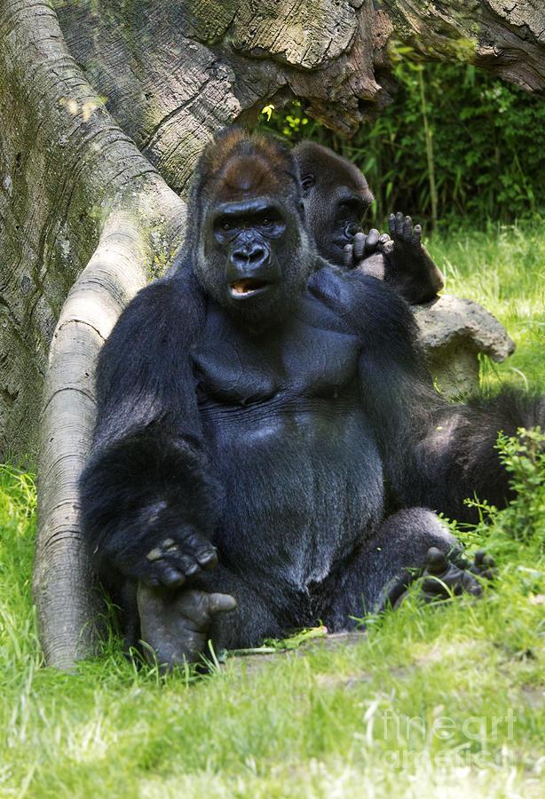 Gorilla Photograph - May I Help You? by Rafael Quirindongo