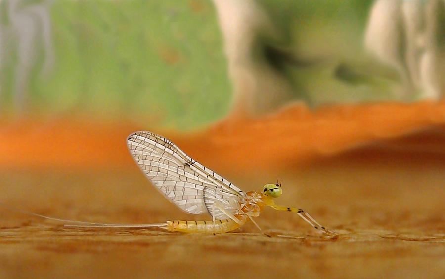 Mayfly Photograph - Mayfly Art by Thomas Young