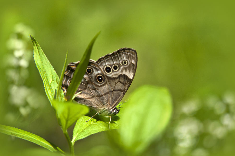 Northern Photograph - Meadow Butterfly by Christina Rollo