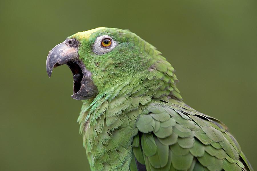 Amazona Farinosa Photograph - Mealy Parrot Amazona Farinosa Calling by Ingo Arndt