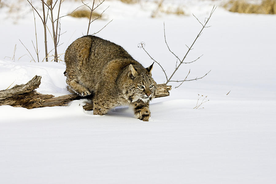 Bobcat Photograph - Meander by Jack Milchanowski
