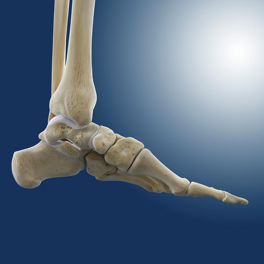Medial Foot And Ankle Bones Photograph By Springer Medizin