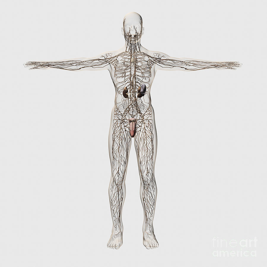 Testis Digital Art - Medical Illustration Of Male Lymphatic by Stocktrek Images