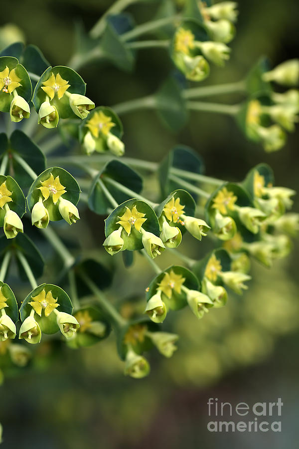 Nature Photograph - Mediterranean Spurge by Joy Watson