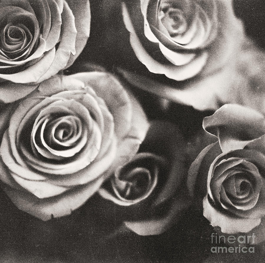 Bouquet Photograph - Medium Format Analog Black And White Photo Of White Rose Flowers by Edward Olive