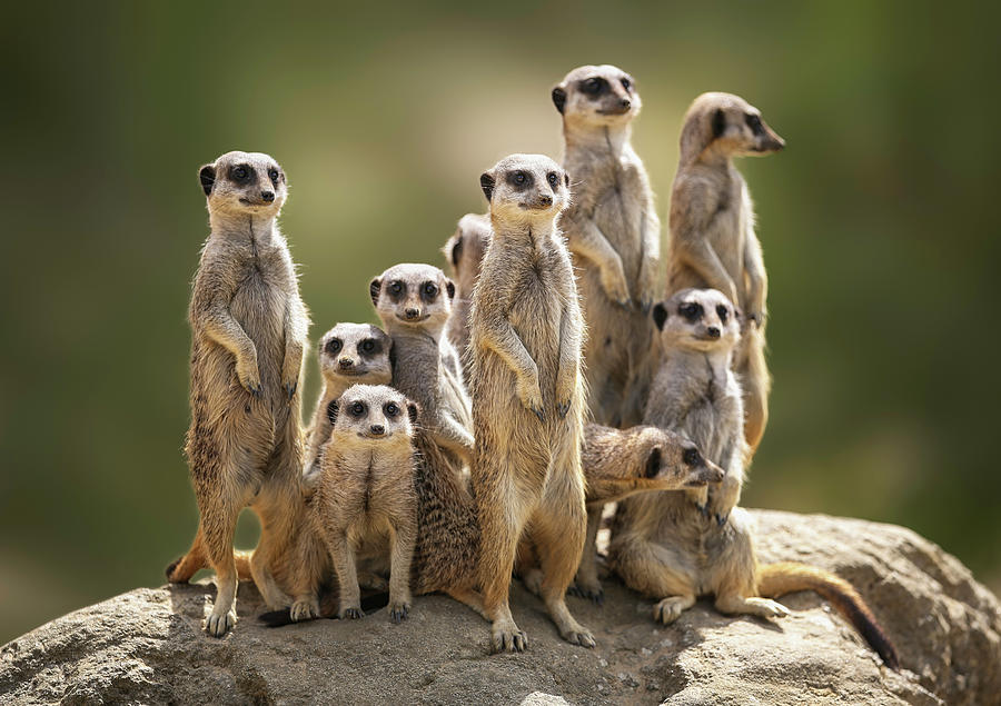 Meerkat Family On Lookout Photograph by Kristianbell