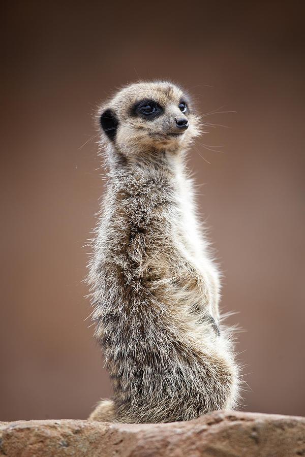 Meerkat Photograph - Meerkat Portrait by Gillian Dernie