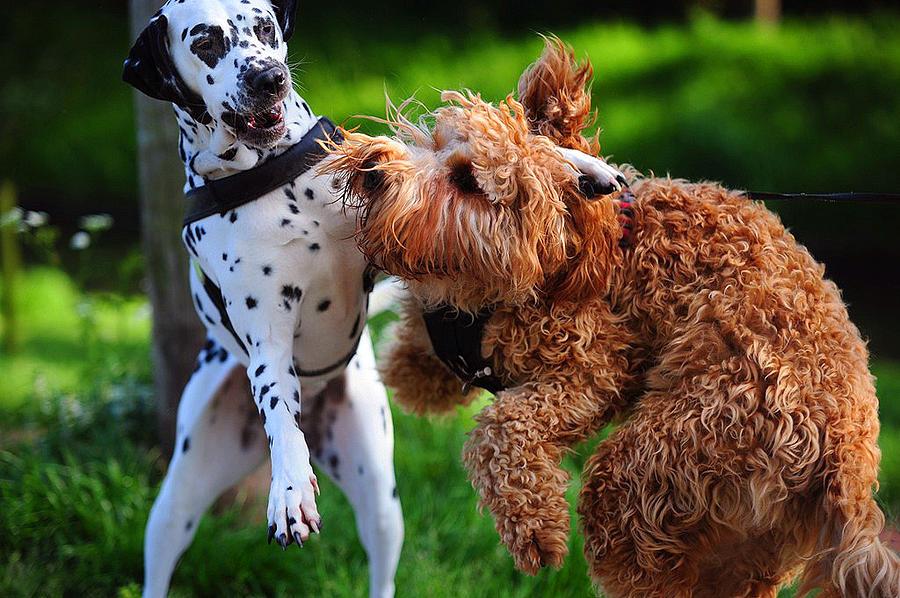 Meet Up With Friend.  Kokkie. Dalmation Dog Photograph