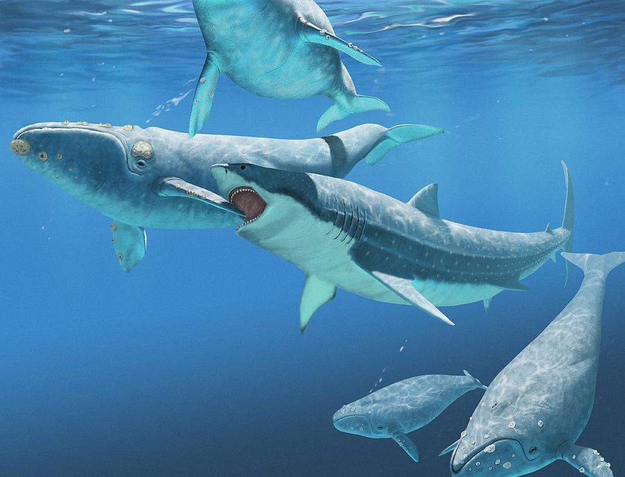 f15aa45803 Megalodon Shark Attacking A Whale Photograph by Jaime Chirinos ...