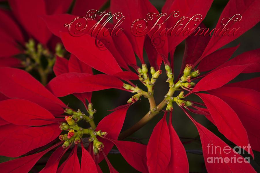 Aloha Photograph - Mele Kalikimaka - Poinsettia  - Euphorbia Pulcherrima by Sharon Mau