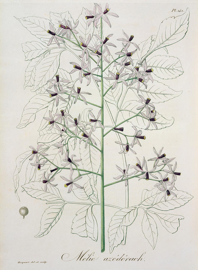 Floral Painting - Melia Azedarach From phytographie Medicale By Joseph Roques by L F J Hoquart