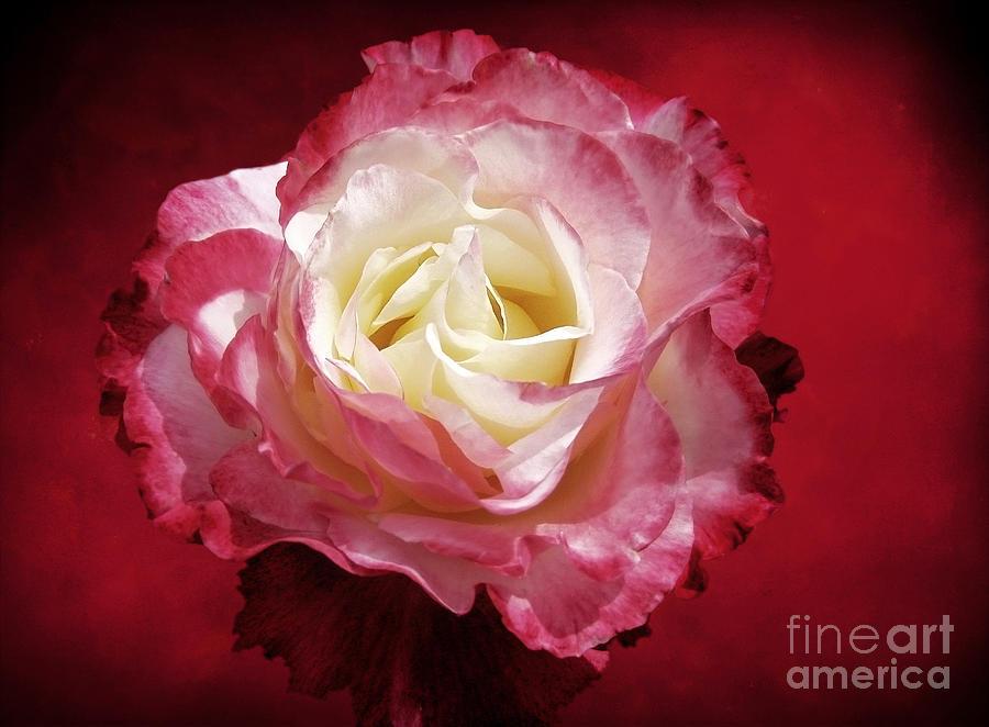 Roses Photograph - Mellow Passion by Ellen Cotton